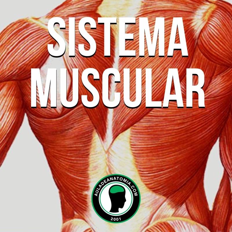 Sistema Muscular - Apostilas | Anatobem